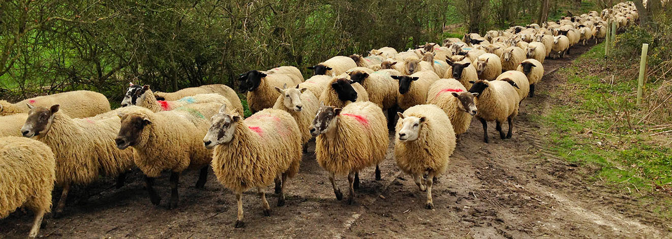 Sheep Enterprise